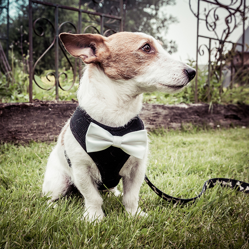 Chien costume mariage noeud papillon